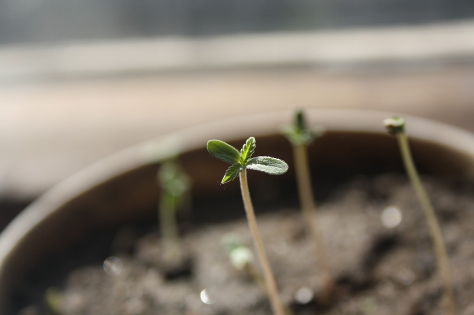 seedling Medical Marijuana